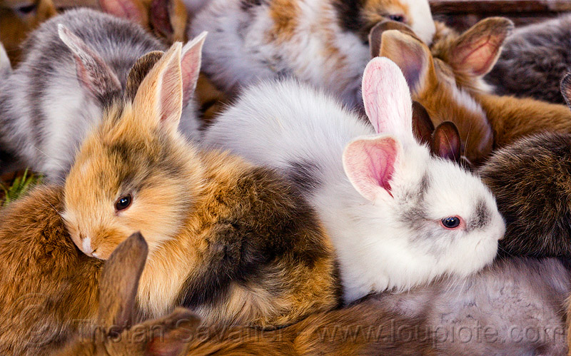 fluffy baby bunny rabbits, animal store, baby rabbit, bunnies, fluffy, fuzzy, indonesia, jogja, pet store, rabbits, yogyakarta