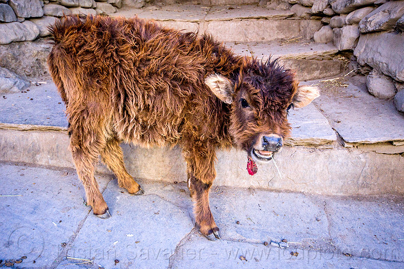 furry little calf (nepal), annapurnas, baby cow, calf, fur, furry, kagbeni, kali gandaki valley