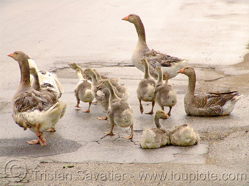 geese, birds, many, poultry, walking, българия
