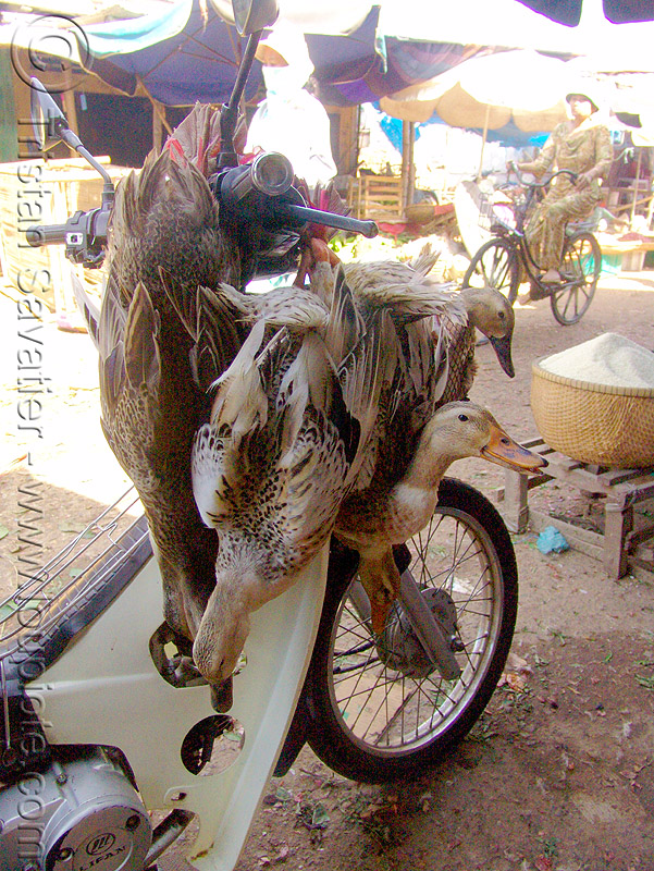 geese on a scooter - vietnam, birds, motorbike, motorcycle, poultry, underbone, underbone motorcycle