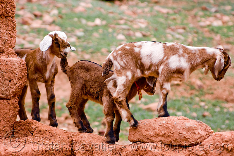 goat kids playing, abra el acay, acay pass, goats, noroeste argentino, small, three, wall