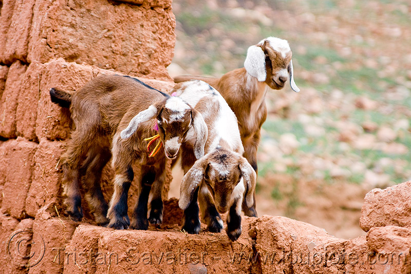 goat kids playing, abra el acay, acay pass, goat kids, goats, noroeste argentino, small, three, wall