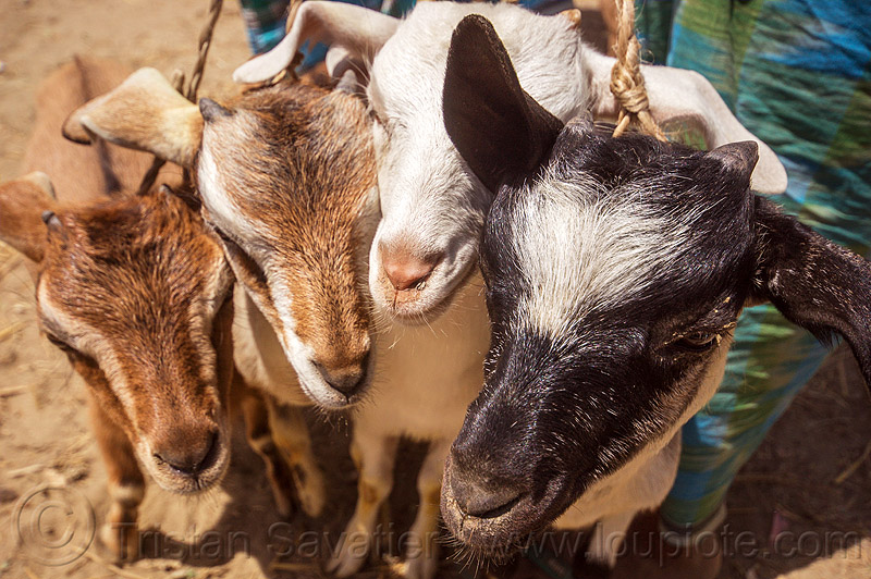 goat kids - young goats (india), cattle market, goat kids, goats, heads, india, west bengal