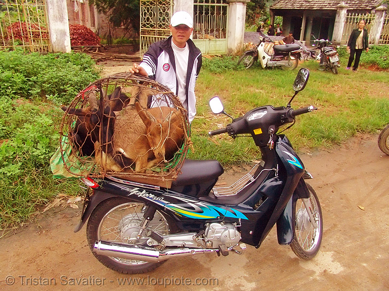 goats on scooter - vietnam, 110, 110cc, cage, motorbike, motorcycle, motostar, sym, underbone, underbone motorcycle