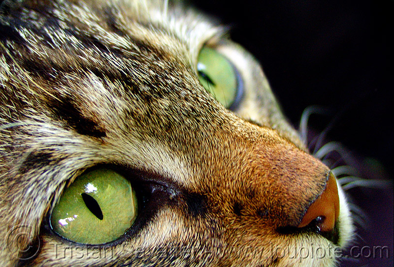 cat eyes, cat eyes, green eyed, green eyes, snout, tabby, whiskers, българия