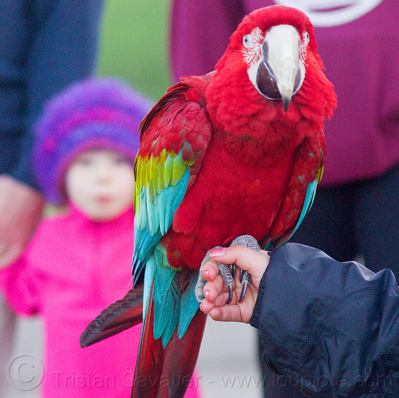 green-winged macaw parrot, ara chloropterus, bird, child, dolores park, green-winged macaw, hand, holding, kid, parrot, psittacidae, red-and-green macaw