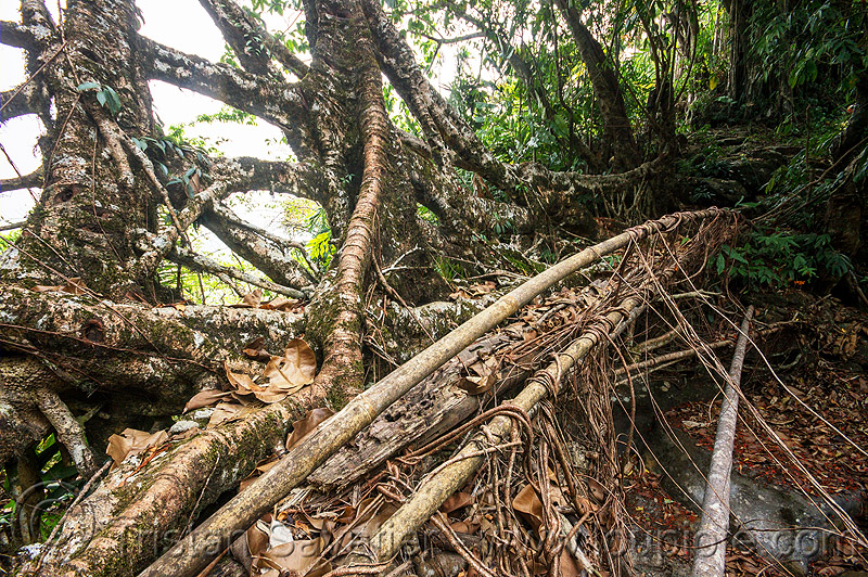 growing a living root bridge near mawlynnong (india), bamboo, banyan, east khasi hills, ficus elastica, footbridge, jungle, living root bridge, mawlynnong, meghalaya, rain forest, rocks, roots, strangler fig, trees