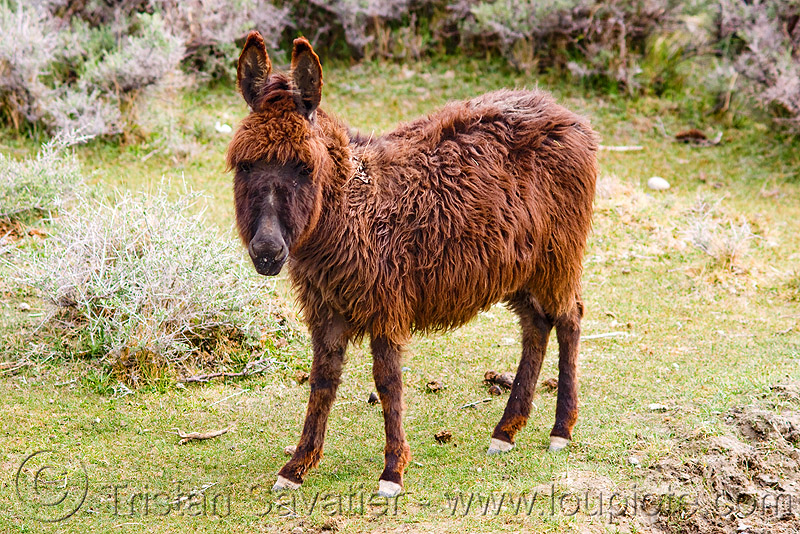 hairy donkey - nubra valley - ladakh (india), asinus, donkey, equus, fur, furry, hairy, india, ladakh, nubra valley, panamik