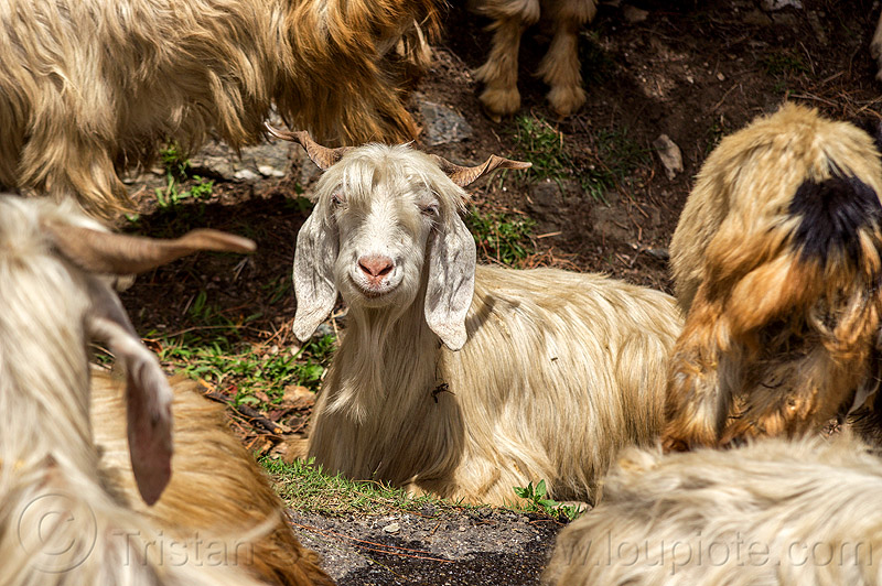 happy goat - wild long hair himalayan goats, capra aegagrus hircus, changthangi, india, lying down, pashmina, wild goats, wildlife