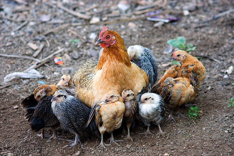 hen and chicks, birds, chickens, chicks, hen, laos, poultry