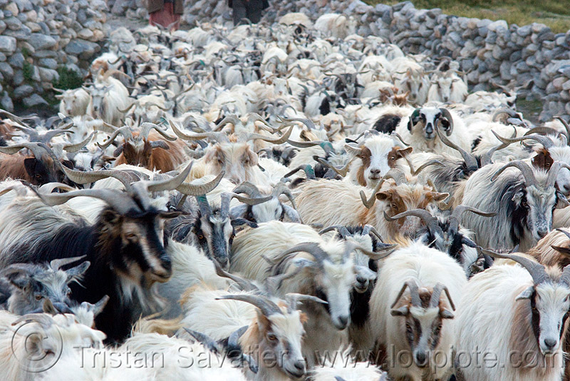 herd of himalayan long-haired goats, changthangi, goats, herd, ladakh, pashmina, spangmik