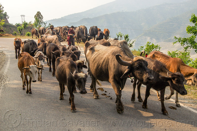 herd of water buffaloes and cows on road (india), cows, herd, man, muslim, road, walking, water buffaloes