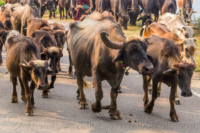 herd of water buffaloes and cows walking on road (india), necklace, people