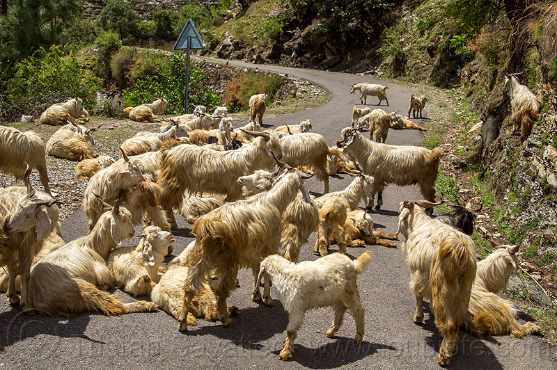 herd of wild himalayan long-haired goats on road, capra aegagrus hircus, changthangi, herd, pashmina, road, wild goats, wildlife