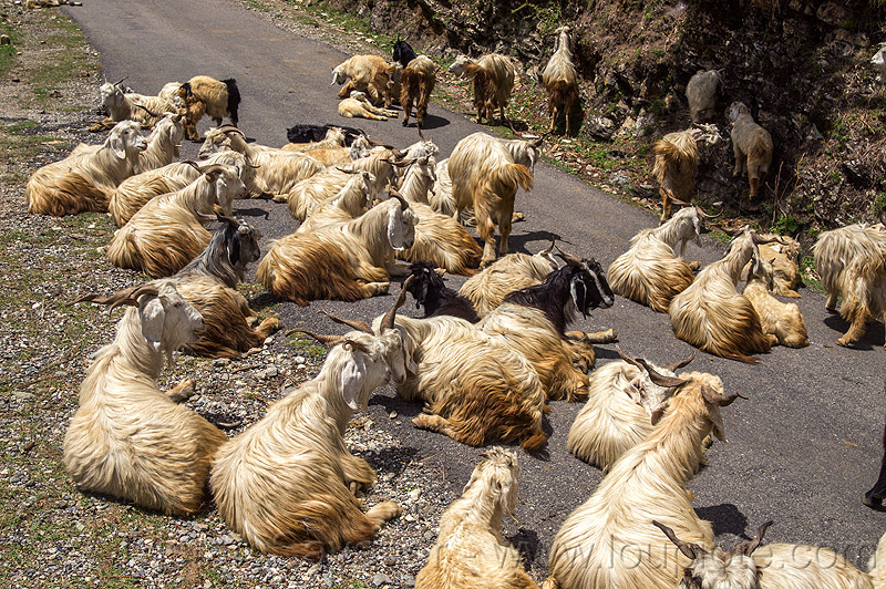 herd of wild long-haired goats lying on road, capra aegagrus hircus, changthangi, herd, india, lying down, pashmina, road, wild goats, wildlife