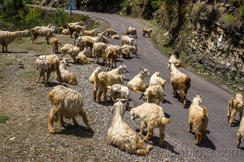 herd of wild long-haired mountain goats on road, capra aegagrus hircus, changthangi, herd, pashmina, road, wild goats, wildlife