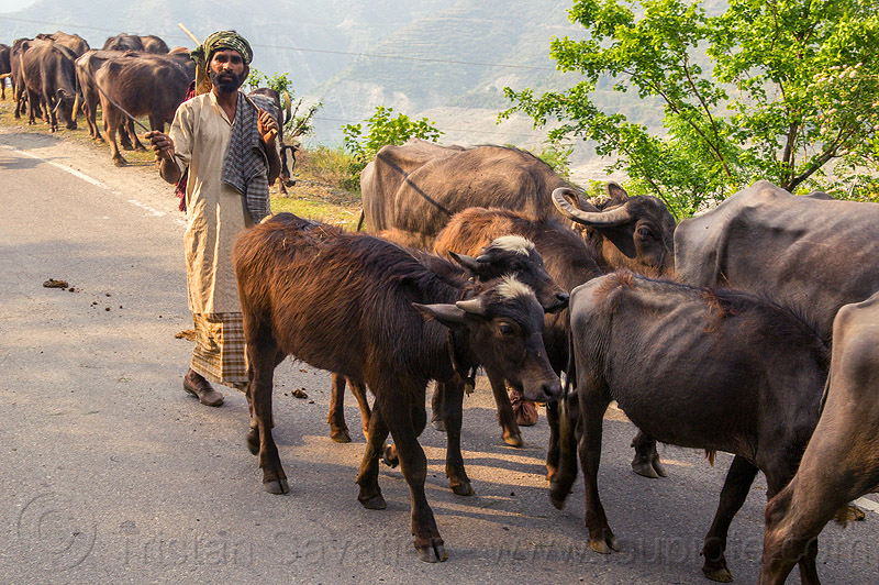 herder waking his herd of water buffaloes on the road (india), cows, herd, india, man, muslim, road, walking, water buffaloes