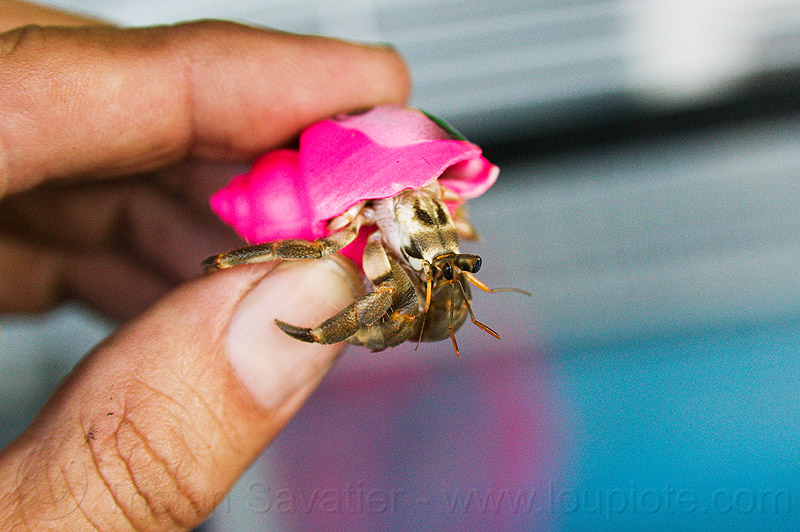 hermit crab in colored plastic shell, fingers, hand, hermit crab, indonesia, pink, plastic, shell, wildlife