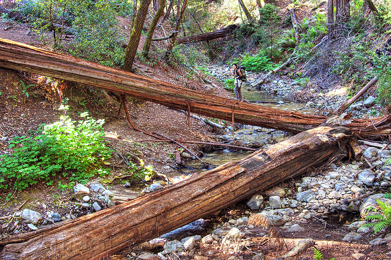 crossing a tree bridge, backpack, backpacking, big sur, fallen tree, forest, pine ridge trail, redwood tree, sequoia sempervirens, sharon, tree bridge, tree trunk, trekking, vantana wilderness, woman