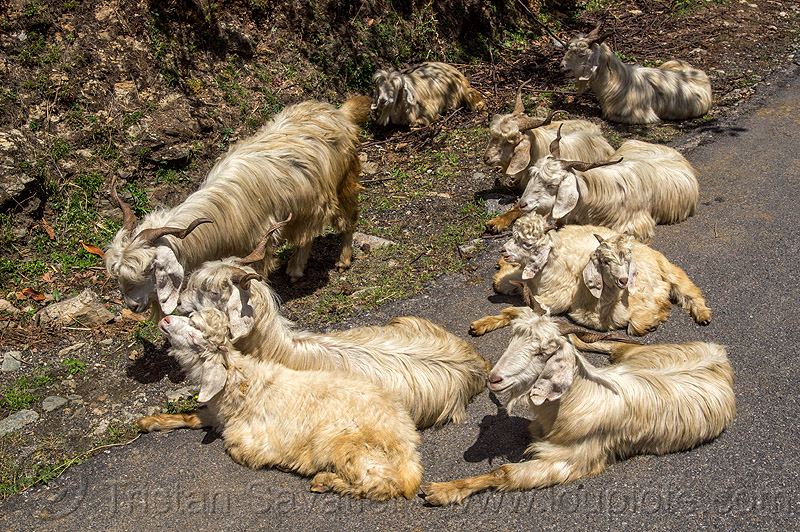 himalayan long-haired goats lying on road, capra aegagrus hircus, changthangi, herd, lying down, pashmina, road, wild goats, wildlife