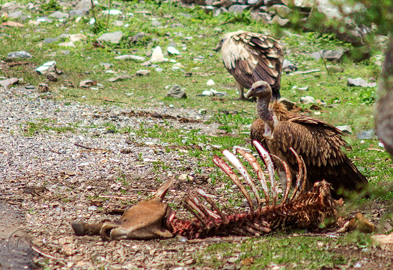 himalayan vultures near dead cow carcass, birds, bones, carcass, carrion, dead cow, decomposing, gyps himalayensis, head, himalayan griffon, himalayan vultures, raptors, rib cage, ribs, roadkill, scavengers, skeleton, spine, wildlife