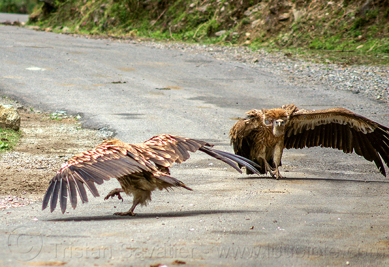 himalayan vultures on ground - spreading wings (india), birds, gyps himalayensis, himalayan griffon, himalayan vultures, india, raptors, road, scavengers, wild bird, wildlife