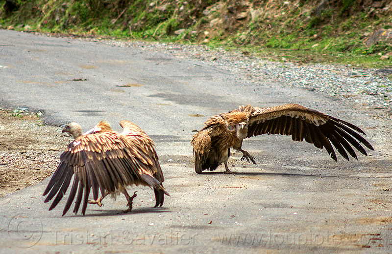 himalayan vultures spreading wings - gyps himalayensis (india), birds, himalayan griffon, raptors, road, scavengers, walking, wildlife