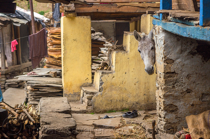 horse pick-a-boo (india), grey, head, horse, house, janki chatti, village