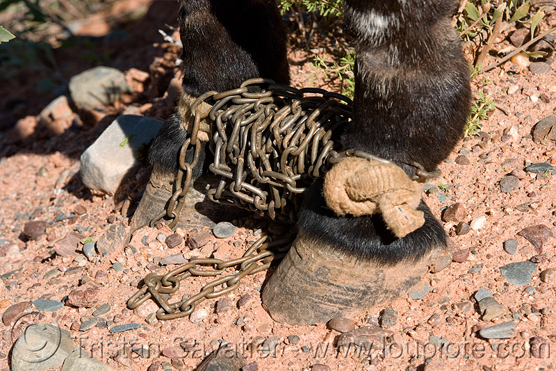 horse shackles with chains, argentina, asinus, chains, donkey, equine, equus, feet, mule, noroeste argentino, pony, restraint, shackled, shackles, working animal