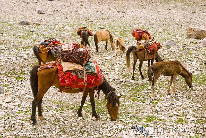 horses - nomad tribe - drass valley - leh to srinagar road - kashmir, caravan, dras valley, drass valley, india, kashmir, kashmiri gujjars, mountains, muslim, nomads, pack animal, pack horses, zoji la, zoji pass, zojila pass