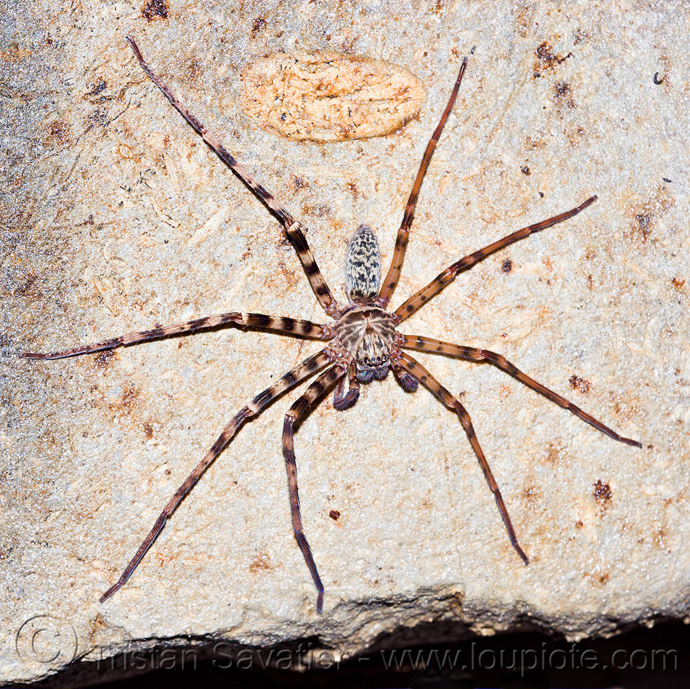 huntsman spider in cave (borneo), borneo, cave spider, caving, giant crab spider, gunung mulu national park, huntsman spider, lang cave, limestone, malaysia, natural cave, rock, sparassidae, spelunking, wildlife