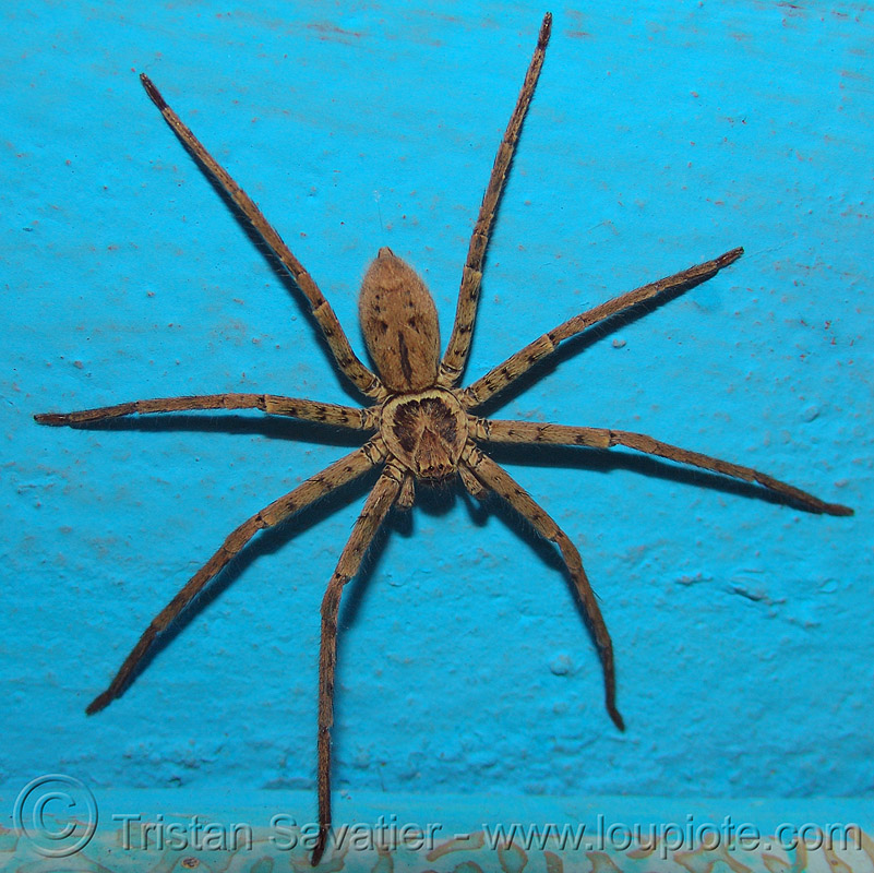 huntsman spider on blue wall, arachnid, arachnida, close up, macro, sparassidae, wildlife, ประเทศไทย, แมงมุม