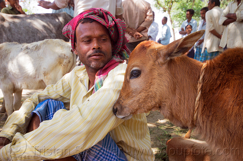 indian farmer with calf (india), baby cow, cattle market, headdress, headwear, man, people, sitting, west bengal