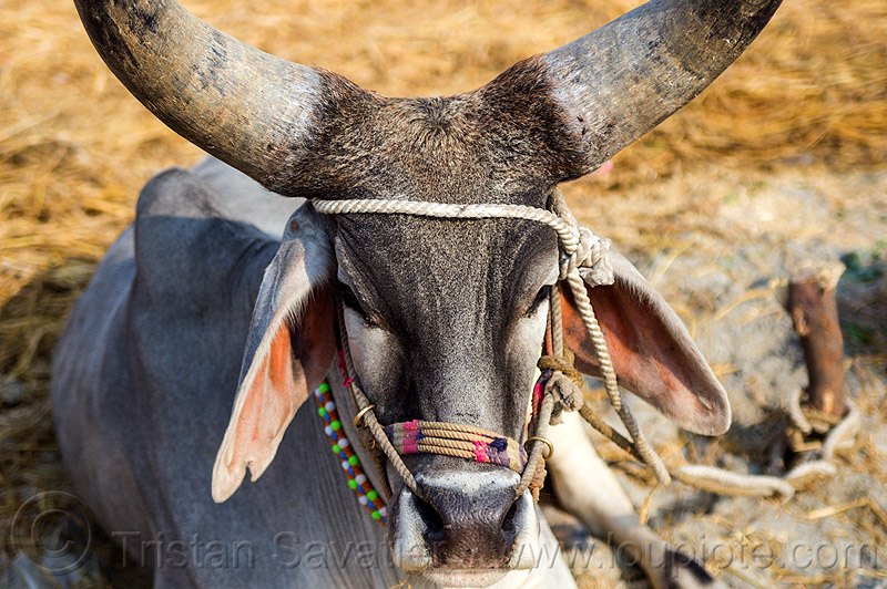 indian kankrej cow with very big horns, attached, big horns, hare krishna, hindu pilgrimage, hinduism, india, iskcon, kankrej cow, lying down, maha kumbh mela, ox, resting, rope, sitting