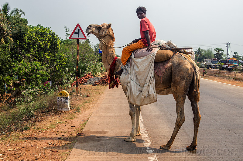indian man riding camel on road (india), double hump camel, people, walking