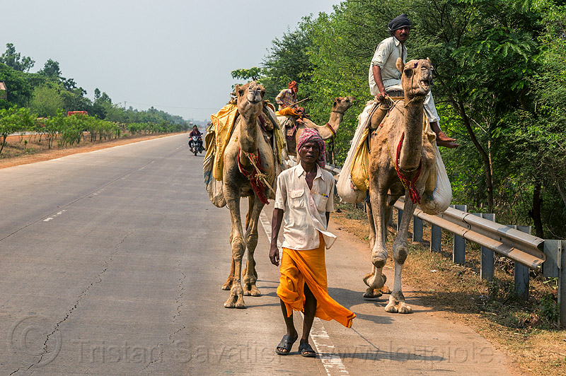 indian men riding camels on road (india), double hump camels, in tow, men, riding, road, towing, walking