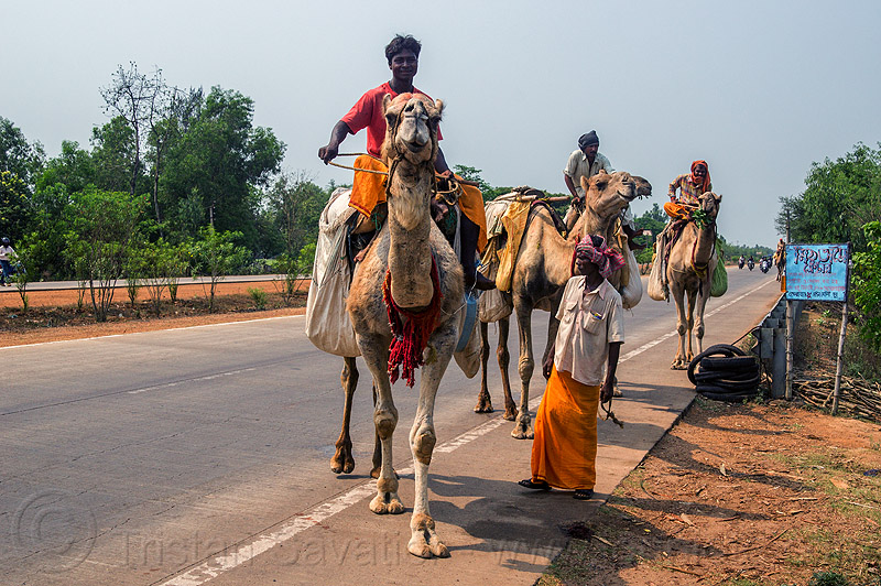 indian men traveling by camel (india), double hump camels, in tow, india, men, riding, road, towing, walking