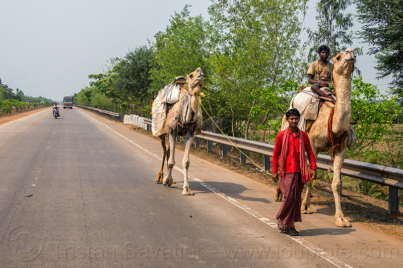 indian men with camels on the road (india), double hump camels, in tow, men, riding, road, towing, walking