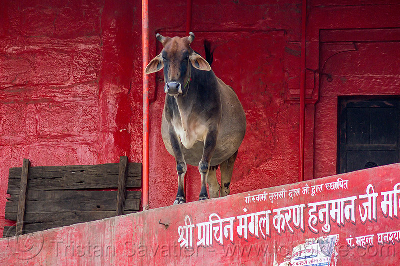 indian street cow (india), hindu temple, hinduism, red, street cow, varanasi