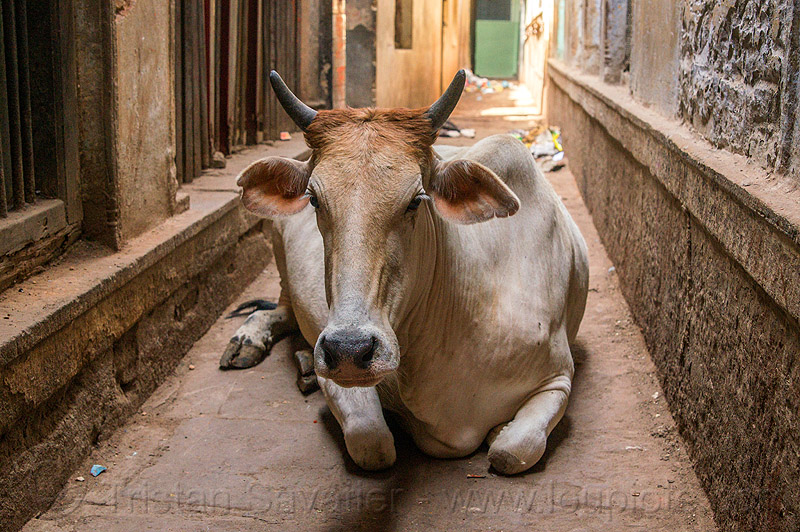 indian street cow lying in narrow street (india), lying down, resting, varanasi