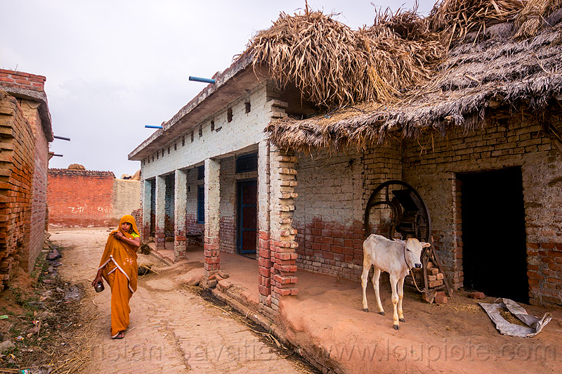 indian woman and calf in village street, baby cow, calf, house, india, khoaja phool, village, water buffalo, woman, खोअजा फूल