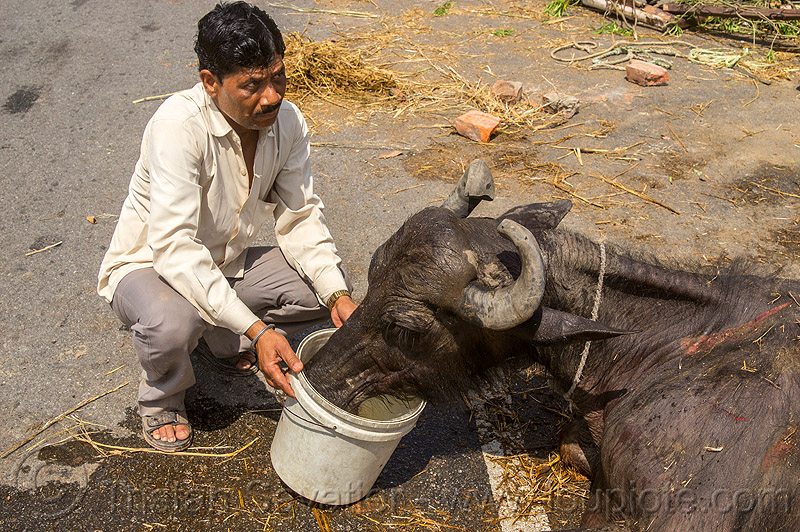 injured water buffalo drinking water from a bucket (india), bucket, cow, crash, drinking, hay, india, injured, lying down, man, road, traffic accident, truck accident, water buffalo