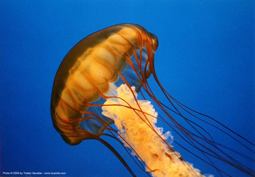jellyfish, blue, jellyfish, monterey aquarium, monterey bay aquarium, ocean, orange, sea