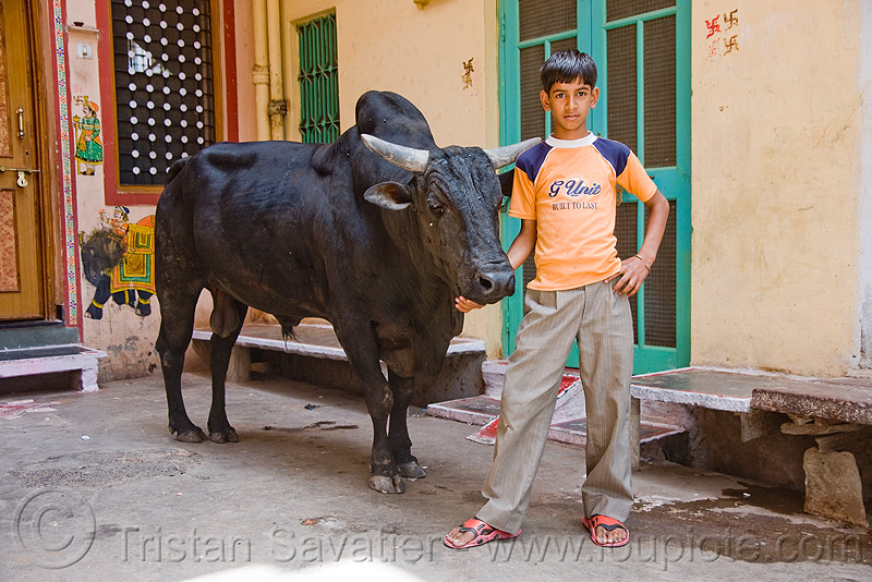 kid and his bull - udaipur (india), child, cow, people, street, street cow