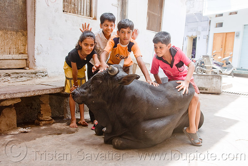 kids playing with bull - udaipur (india), children, cow, people, street, street cow