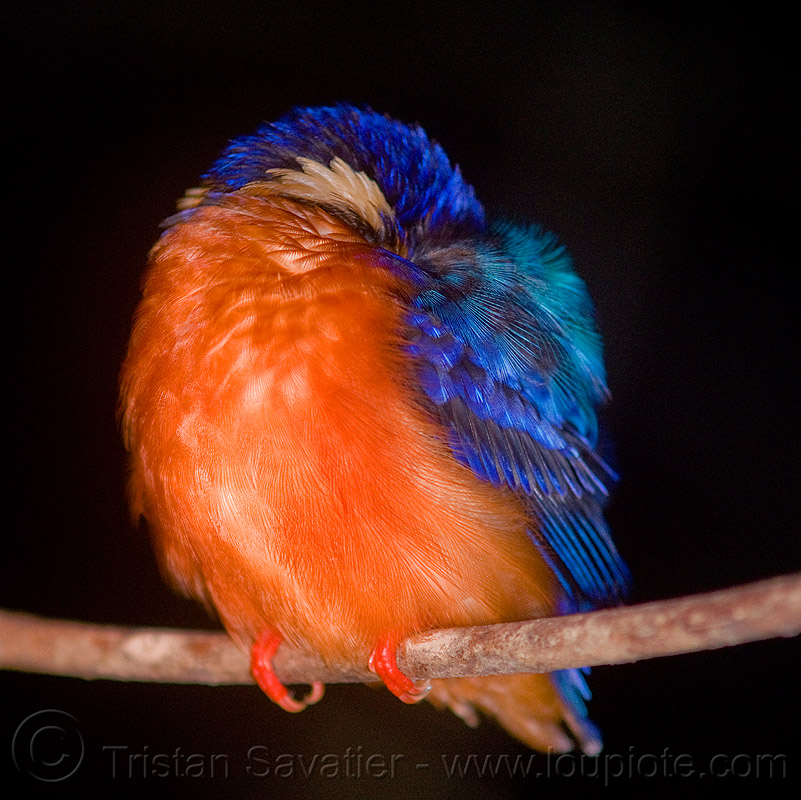 kingfisher bird sleeping, blue-eared kingfisher, branch, kinabatangan river, night, sleeping, sukau, wild bird