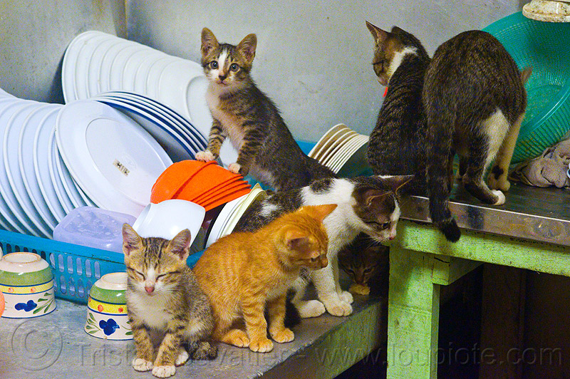 kittens on the dishes, cats, dishes, kitchen, kittens, mackerel tabby