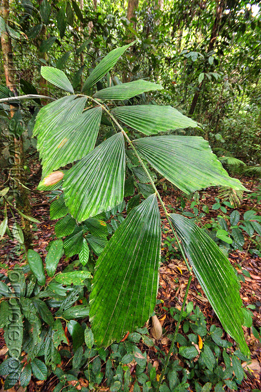 korthalsia palm leaves, flabellate, gunung mulu national park, jungle, korthalsia, leaves, palm, plant, rain forest