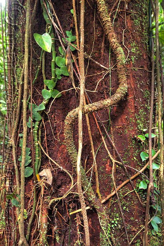 lianas on tree trunk, creepers, gunung mulu national park, jungle, lianas, plant, rain forest, tree trunk