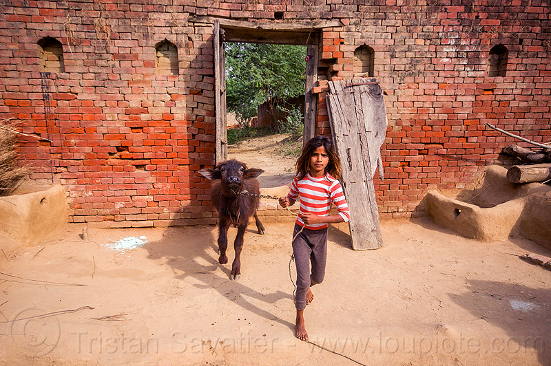 little indian girl with her water buffalo calf, adobe floor, baby cow, brick wall, broken door, calf, chain, child, earthen floor, khoaja phool, kid, leach, little girl, manger, pulling, rope, standing, village, walking, water buffalo, wooden door, खोअजा फूल
